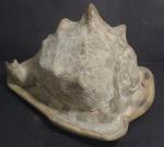 Concha do mar medindo 13 x 15 x 19 cm.
